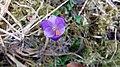 Saffron - Crocus vernus 28.jpg