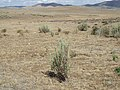 Sagebrush steppe converted to crested wheatgrass (9672622239).jpg