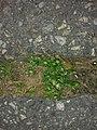 Sagina procumbens plant (13).jpg