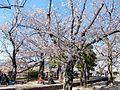 Sakura at Maizuru Park 01.jpg