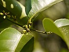 Salacia chinensis L. (11547593726).jpg