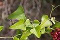 Salse pareille-Smilax aspera-Feuilles-20150904.jpg