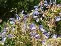 Salvia chamelaeagnea & Xylocopa caffra, Manie van der Schijff BT, a.jpg