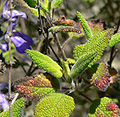 Salvia melissodora 4.jpg