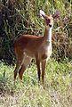 Sangai Brow-antlered Deer Rucervus eldii eldii Manipur by Dr. Raju Kasambe (2).jpg