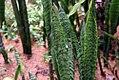 Sansevieria trifasciata 23zz.jpg