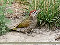Scaly-bellied Woodpecker (Picus squamatus) (36385255535).jpg