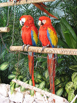 Scarlet Macaw (Ara macao) -two on perch.jpg