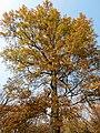 Scarlet Oak (31133052516).jpg