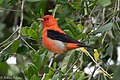 Scarlet Tanager (male) Sabine Woods TX 2018-04-21 11-38-38 (40164861340).jpg