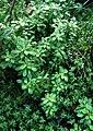 Schiedea kaalae (4832023659).jpg
