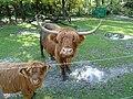 Schottisches Hochlandrind - Highland Cattle - Kyloe.jpg