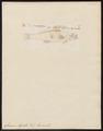 Sciaena aquila - 1700-1880 - Print - Iconographia Zoologica - Special Collections University of Amsterdam - UBA01 IZ13400051.tif