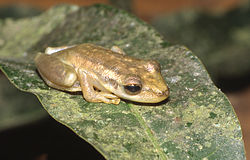 Scinax ruber03.jpg
