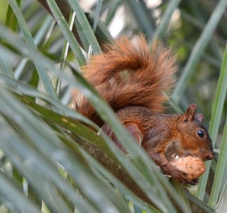 Southern Amazon red squirrel