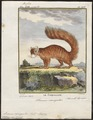 Sciurus variegatus - 1700-1880 - Print - Iconographia Zoologica - Special Collections University of Amsterdam - UBA01 IZ20400041.tif