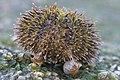 Sea Urchin Macro2.jpg