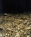 Seafood waste pile seafloor Ketchikan AK 2004.jpg