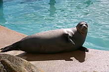 Seal at the Seal Sanctuary - geograph.org.uk - 544100.jpg