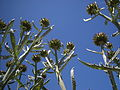 Seattle - Marra Farm artichokes 03.jpg