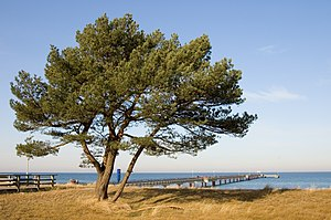 Pier Prerow and a Pinus sylvestris