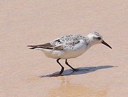 Semipalmated sandpiper on st lucia.jpg