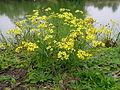 Senecio madagascariensis plant9 (15520988864).jpg