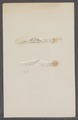 Sepia spec. - - Print - Iconographia Zoologica - Special Collections University of Amsterdam - UBAINV0274 090 07 0011.tif