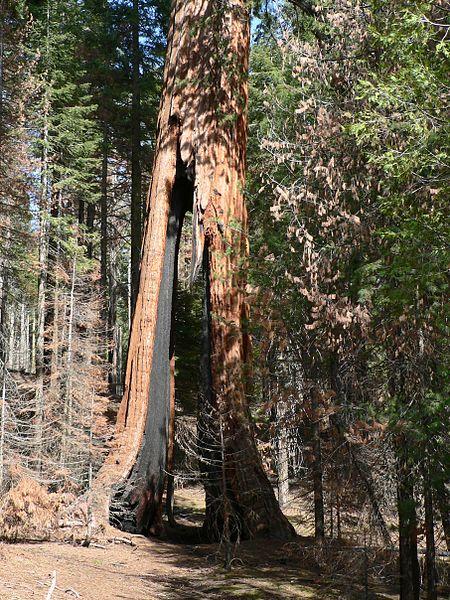File:Sequoiadendron giganteum 08165.JPG
