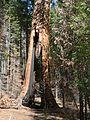 Sequoiadendron giganteum 08165.JPG