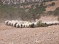 Sheep and goats at Kalandos Naxos Greece DSCN1149.jpg