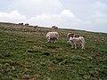 Sheep on the summit of Fan Fawr - geograph.org.uk - 166877.jpg