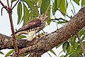 Shikra (Accipiter badius)Juvenile with prey (23413601191).jpg