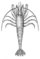 Shrimp (PSF).png