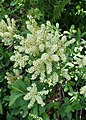 Sibiraea laevigata kz05.jpg