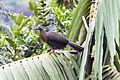 Sickle-winged Guan (Chamaepetes goudotii) (8079914714).jpg