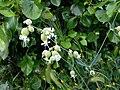Silene vulgaris09.jpg