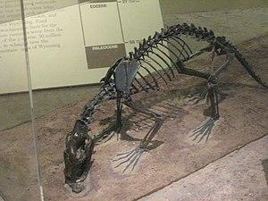 Hyaenodontidae - Sinopa grangeri