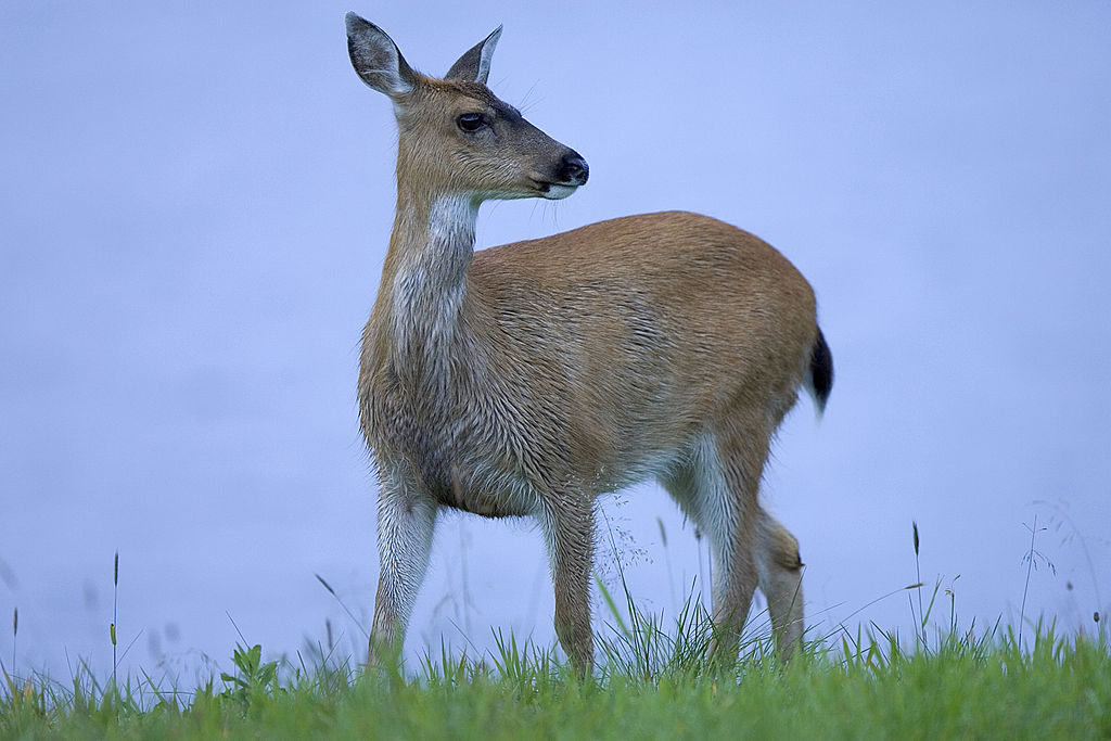 http://upload.wikimedia.org/wikipedia/commons/thumb/6/6b/Sitka_black_tailed_deer.jpg/1024px-Sitka_black_tailed_deer.jpg