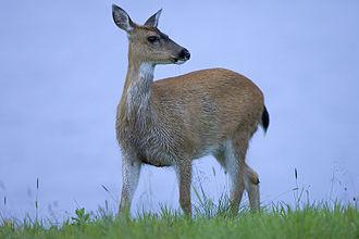 Sitka deer - Sitka deer at the Kodiak National Wildlife Refuge