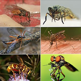 Fly Order of insects