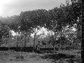 Sluszanskis Ceara-plantage. S.-te Marie de Marovoay. Madagaskar - SMVK - 021931.tif