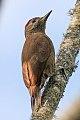 Smoky-brown Woodpecker (Picoides fumigatus) (8077624891).jpg