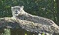 Snow Leopard (39750685352).jpg