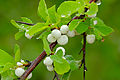 Snowberry Tree (Flueggea virosa) (16429510476).jpg