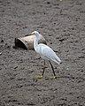 Snowy Egret (Egretta thula) near Inman, Kansas, USA.jpg