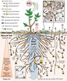 Soil organic carbon cycling.png