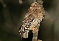 Sokoke Scops Owl (Otus ireneae).jpg