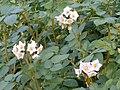 Solanum tuberosum.JPG