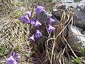 Soldanella alpina Rax 2.jpg